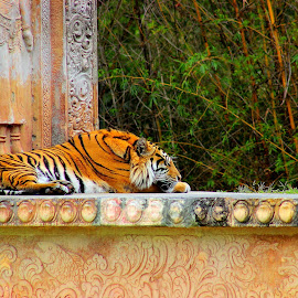 by Vitor Mauad - Animals Lions, Tigers & Big Cats ( big cat, sleeping cat, zoo, tiger,  )