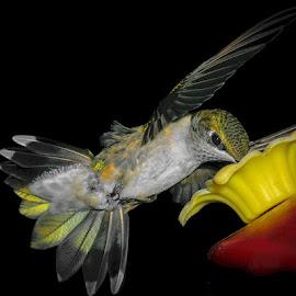 Leah by Gregg Pratt - Animals Birds ( hummingbird )