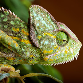 unimpressed by Kevin Towler - Animals Reptiles ( wild, macro, lizard, nature, macro photography, gecko, wildlife, reptile )