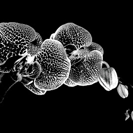 Orchid by Hiz Kia - Nature Up Close Gardens & Produce