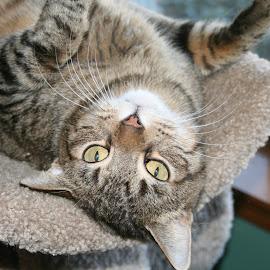 Taz doing a trick by Karen Garrett - Animals - Cats Portraits