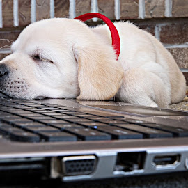 No Work For You by Nikki Vig - Animals - Dogs Puppies ( computer, labrador retriever, sleeping puppy, puppy, labrador, puppy portrait, yellow lab,  )