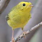 WIlson's Warbler (male)