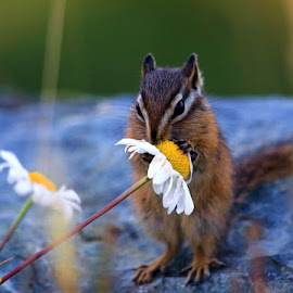 The Chipmunk and the Flower by Gerald Wolf - Animals Other Mammals (  )
