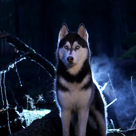by Надежда Иванова - Animals - Dogs Portraits ( husky, dog, dog hus, animal )