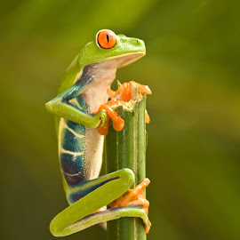 The Lookout by Mike O'Connor - Animals Amphibians ( tree, lookout, frog, green, hangin on,  )