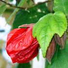 Flowering Maple.