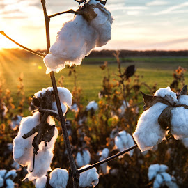 Hopson's Cotton Sunset by Rory Doyle - Landscapes Travel ( field, cotton, crops, landscape, plantation, farming, mississippi )