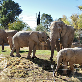 Pachyderm Play by Darla Judes - Novices Only Wildlife ( zoo, family, elephant, baby, preserve )