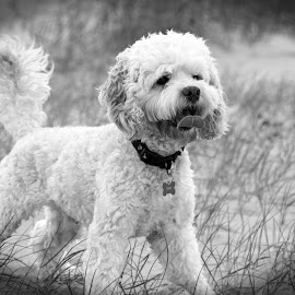 Chico by Bob Dick - Animals - Dogs Portraits ( black and white, beach, dog )