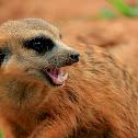 Meerkat/Suricate