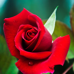 Perfect Rose by Jamie Myers - Flowers Single Flower ( plant, rose, macro, red, nature, red rose, bloom, flower )