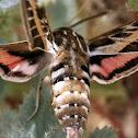 Striped Hawk Moth