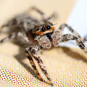 Tan Jumping Spider