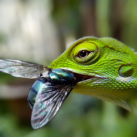 crispy fly by Hendrata Yoga Surya - Instagram & Mobile Android ( reptiles, bunglon, green crested lizard, londok )