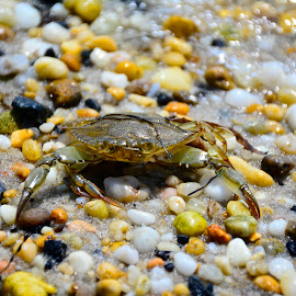 Blue Claw Crab by Nina VanDeleur - Nature Up Close Rock & Stone ( blue claw crab )