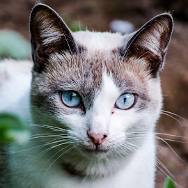 Pantufinhas by Brás Monteiro - Animals - Cats Portraits ( cat, pantufinhas, blue eyes )