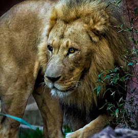 Lion Entranced by David Hammond - Animals Lions, Tigers & Big Cats ( cats, lion, walking, curious, male, captive )