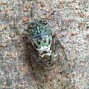 Minmin Cicada