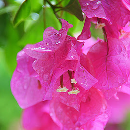 Bouganvillea by Tupu Kuismin - Nature Up Close Leaves & Grasses