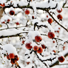 The Winter Fruit by Jerry Sundholm - Nature Up Close Trees & Bushes ( sweden, home, fruit, winter, tree,  )