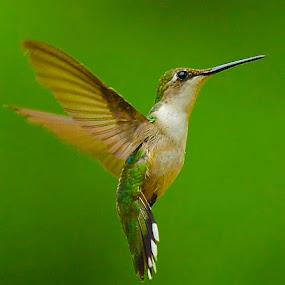 Little Big Guy by Roy Walter - Animals Birds ( flight, wild, animals, nature, wings, hummingbird, birds,  )