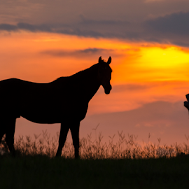 horse by David Ubach - Animals Horses ( farm, animals, pasture, silhouette, sunset, horse, grsdd )