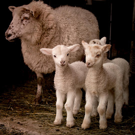 Spring lambs by Sharon Snider - Animals Other Mammals ( #lambs #lamb #sheep #ewe #farmlife )