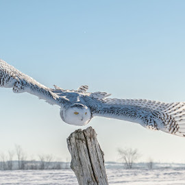 Snowy Owl by Rose Knott - Animals Birds ( wings span sharp eyes magnificent wonder,  )
