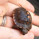 Eastern Box Turtle (hatchling)