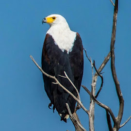 Dinokeng Fish Eagle by Warren Hanna - Novices Only Wildlife