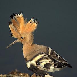 Hoopoe by Jayant Atrey - Animals Birds ( animals, nature, hoopoe, juvenile, birds )