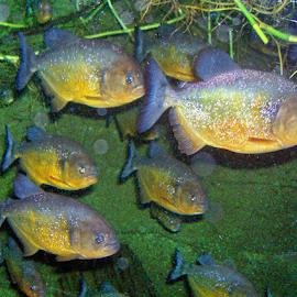 Aqaurium Pirahhna by William Thielen - Novices Only Wildlife ( predator, pirahhna, blue, fish, aquarium, denver, colorado, gold, teeth, dangerous, exotic )