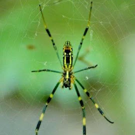 Japanese Spider by Casey Crane - Nature Up Close Webs