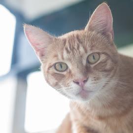 Orange Cat by Steve McCaffrey - Animals - Cats Portraits ( holiday, cats, orange, animals, cat, vacation, pets, amsterdam, travel, portrait )