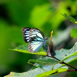 Common Wanderer by Manoj Kulkarni - Animals Insects & Spiders ( natural light, butterfly, nature up close, natural beauty )