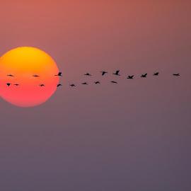 Going Home by Assi Dvilanski - Landscapes Sunsets & Sunrises ( flying, home, cormorant, sunset, birds )