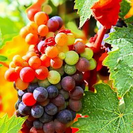 Grapes by Katarzyna Malinowska - Nature Up Close Gardens & Produce ( tuscany italy grapes colorful green orange purple pink )