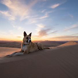 700-720 feet / On the very top of Kelso dunes in the Mojave desert by Michael Keel - Animals - Dogs Portraits ( mojave desert, desert sunset, sunset, desert dog, dog )
