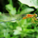 Eastern Forktail Damselfly (Female)