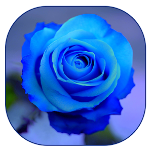 blaue rose tapete android apps auf google play. Black Bedroom Furniture Sets. Home Design Ideas