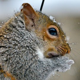 Snow Squirrel by Brian Shoemaker - Novices Only Wildlife ( snow, backyard, closeup, squirrel, feeder )