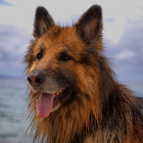 by Suzana Svečnjak - Animals - Dogs Portraits ( animals, pet, sea, summer, dog,  )