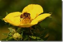 Potentilla og flue