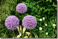 Alliumv&#39;Round&#39;n Purple&#39;