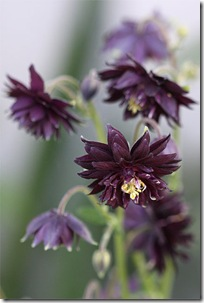 AquilegiaBlackBarlow