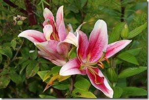 Lilium-Rose-de-fonce
