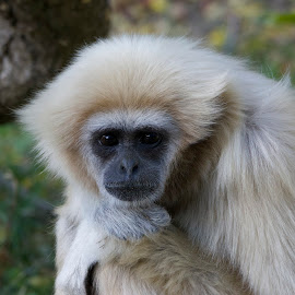 White-handed Gibbon by Wade Tregaskis - Animals Other Mammals ( zoo, watching, sad, gibbon, white, watchful, thoughtful, white-handed )