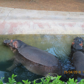 cool hippos by Mohammad Rafi - Animals Other