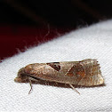 Triangle-backed Eucosma
